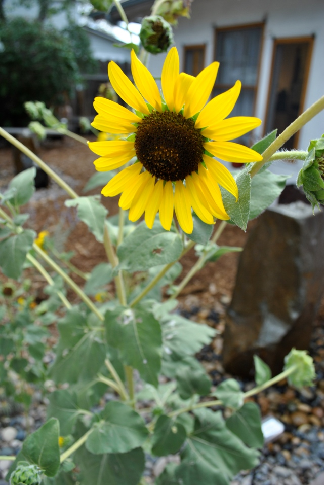 Sunflower, New Mexico